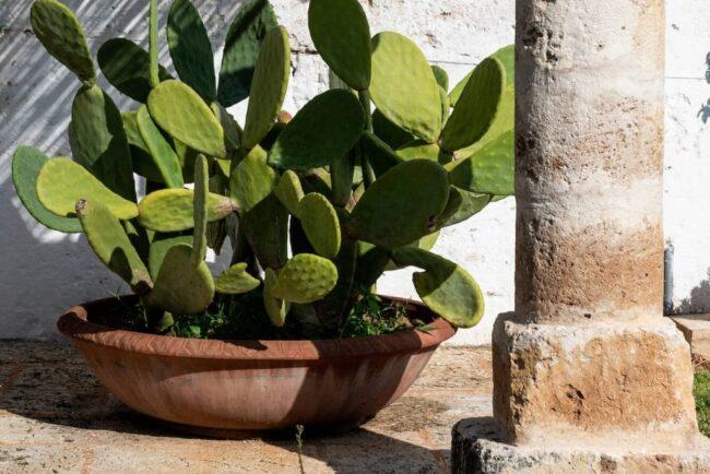 Cactus plant under the pergola