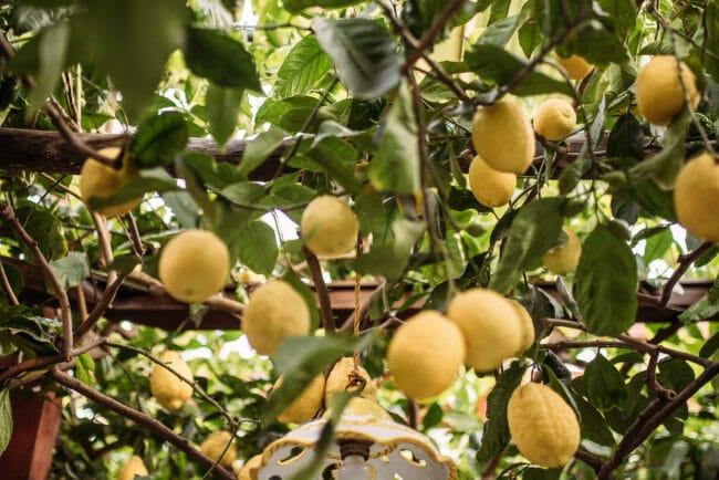 Lemon trees pergola at the restaurant Da Paolino in Capri