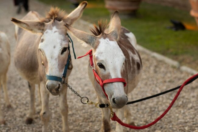 Two sweet donkeys at a wedding party